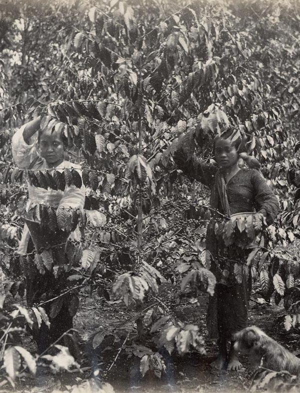 Sejarah Kopi Garut: Petik Buah Kopi di Garut, sekitar tahun 1900. Garoet Koffiepluksters ca. 1900