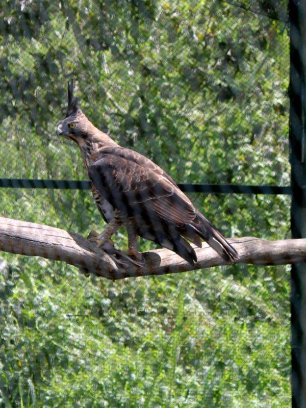 Elang Jawa yang terancam punah, di Pusat Konservasi Elang Kamojang (Paket Wisata Garut, Wisata Edukasi Konservasi Kamojang)